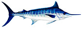 Atlantic Blue Marlin (Makaira nigricans), drawing. - Stock Image - CE92E9