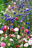 A mass of cornflowers - Stock Image - AF6JTH