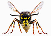 Close up of wasp - Stock Image - C90JHY