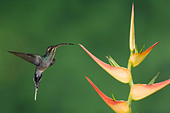 Green Hermit Hummingbird Phaethornis guy female in flight on Heliconia flower Central Valley Costa Rica Central America December - Stock Image - A8AWXX