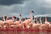 Lesser Flamingo (Phoenicopterus minor) at Lake Bogoria.Kenya - Stock Image - C4XCBR