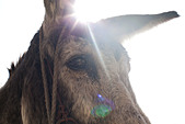Donkey's head, close up - Stock Image - CN2P8B