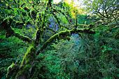 Tree with moss in Caucasus mountains, Abkhazia, Georgia - Stock Image - EFN8JM