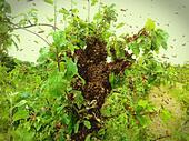Honey Bee Swarm (Apis Mellifera) - Stock Image - S010XC