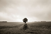 Lone tree in open field - Stock Image - BNY71A