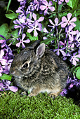 Baby cottontail rabbit, Lepus sylvaticus, hides in garden under lavender sweet William flowers - Stock Image - C04AE6