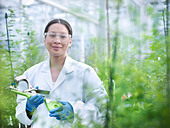 Scientist examining plant in greenhouse - Stock Image - CT18BC