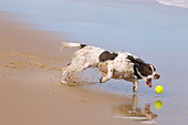 English Springer Spaniel chasing ball on beach - Stock Image - C73EA1