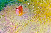 Indonesia, Papua, Raja Ampat, Misool Island, Skunk anemonefish (Amphiprion akallopisos)  - Stock Image - C4D8X5