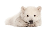 Polar bear cub,  Ursus maritimus, 3 months old, portrait against white background - Stock Image - CPW6FH