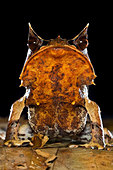 Portrait of Bornean Horned Frog amongst leaf-litter in forest floor, taken at night. Danum Valley, Sabah, Borneo. - Stock Image - BMKDRP