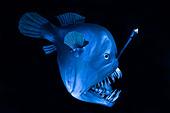 Tiefseefisch Schwarzangler oder Buckliger Anglerfisch Melanocetus johnsonii, Humpback anglerfish deep sea creature - Stock Image - C4EAGK