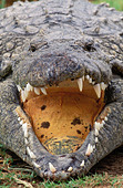 Nile Crocodile Crocodylus niloticus Basking open mouthed for temperature regulation Africa - Stock Image - A6C389