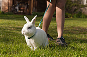 Teenager girl walking an English butterfly white rabbit on a lead on a lawn with daisies with harness - Stock Image - D2M92E
