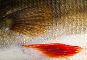 Skin and scales of a 1.1 kg freshwater perch ( perca fluviatilis ) - Stock Image - CPYA3A