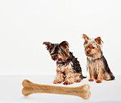 Dogs examining oversized bone - Stock Image - C90JTH