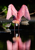 Roseate Spoonbill stretching its wings - Stock Image - CWT056