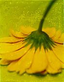 Yellow gerber (gerbera) upside down. Photo Illustration from polaroid transfer. ©mak - Stock Image - CWXT4Y