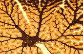 Cross section of human brain, National Medical Museum, Washington, D.C. - Stock Image - BFG0Y9