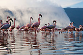 Lesser Flamingo (Phoenicopterus minor ) at Lake Bogoria's geyser and hot springs.Kenya - Stock Image - C4XEM7
