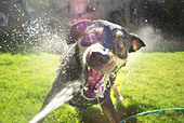 Dog attacking water hose in backyard fun vicious an wide eyed bearing teeth with spray flying everywhere albuquerque new mexico - Stock Image - BM07N9