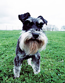 miniature schnauzer on grass - Stock Image - A9Y478