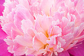 Paeonia lactiflora 'Gay Paree' - Stock Image - BH0DF7