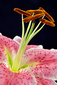 Close up of stamens and pistil in a Star Gazer Lily with pollen - Stock Image - ADKRY6