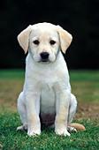 Golden Labrador puppy - Stock Image - AB5976