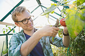 Man pruning tomato plant in greenhouse - Stock Image - DFDC2H