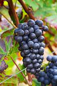 pinot noir clos st louis fixin cote de nuits burgundy france - Stock Image - C0TDT5