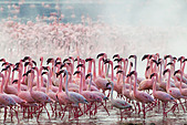Lesser Flamingo (Phoenicopterus minor ) at Lake Bogoria's geyser and hot springs.Kenya - Stock Image - C4XEMJ