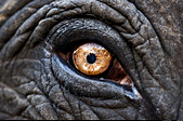 Close up of eye of an Indian elephant Jaipur India - Stock Image - AFMWAD