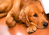 Beautiful dog at home looking very bored - Stock Image - D1BC5X