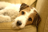 dog on sofa - Stock Image - ACAC3T