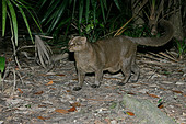JAGUARUNDI Herpailurus yaguarondi In Belize - Stock Image - A0HDHE