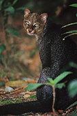 Jaguarundi (Herpailurus yaguaroundi). Ecuador - Stock Image - DF8KP8