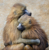 Guinea Baboon couple, Cabarceno, Spain - Stock Image - CFHH5M