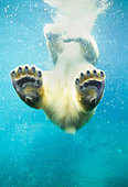 Swimming polar bear, North America - Stock Image - CN3RH2