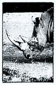 Single white rhino grazing: detail of head, side  view in stylised monochrome, Lake Nakuru, Kenya - Stock Image - DDTYAX