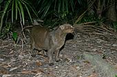 JAGUARUNDI Herpailurus yaguarondi In Belize - Stock Image - A0HDH8