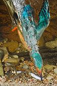 Kingfisher / Alcedo atthis - Stock Image - CTJXDP