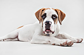 Portrait of St Bernard puppy in studio - Stock Image - D7JYDD