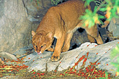 Jaguarundi Herpailurus yagouaroundi Arizona Sonora Desert Museum Tucson ARIZONA United States October Adult - Stock Image - AM4R9G