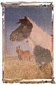 Polaroid transfer of minature horse - Stock Image - A5N7TT