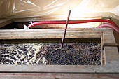 pinot noir fermenting must and grapes with thermometer  nuits-st-georges cote de nuits burgundy france - Stock Image - C0W2PR