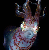 Close up of squid underwater at night - Stock Image - D37MDE