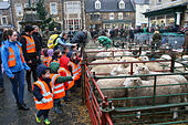 Uppingham, Rutland, UK 26th November 2014. Uppingham Fatstock Show-Pigs, sheep and cattle preened and put on show in the Market Square to be judged. This unique show is the only one in the country to be held where animals are held in temporary pens in a town market square © Jim Harrison/Alamy Live News - Stock Image - EB56PP