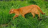 Jaguarundi Herpailurus yaguarundi Central and Tropical South America Captive Red colour phase - Stock Image - AD0BNB
