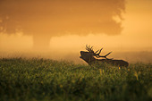 Stag In Field At Dawn - Stock Image - DBP4KR